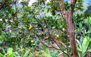 Дерево гуавы