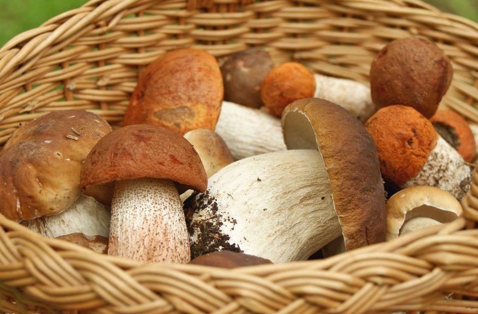 Польза лесных грибов