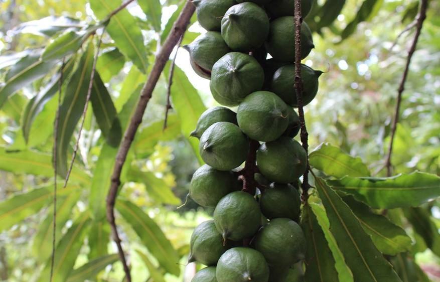 Макадамии на дереве