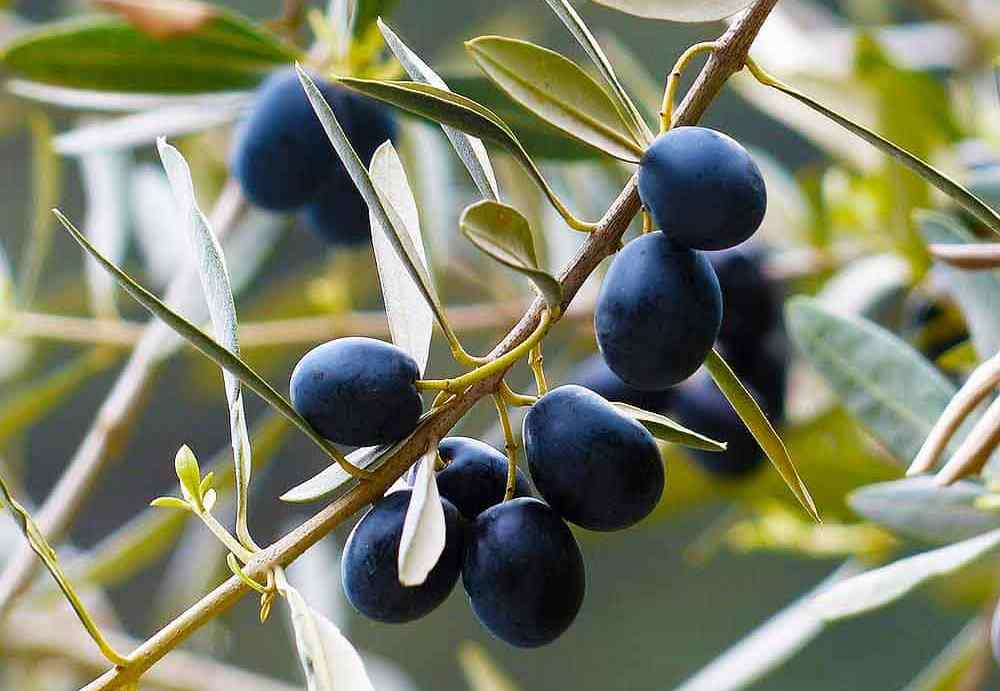 Маслины на дереве