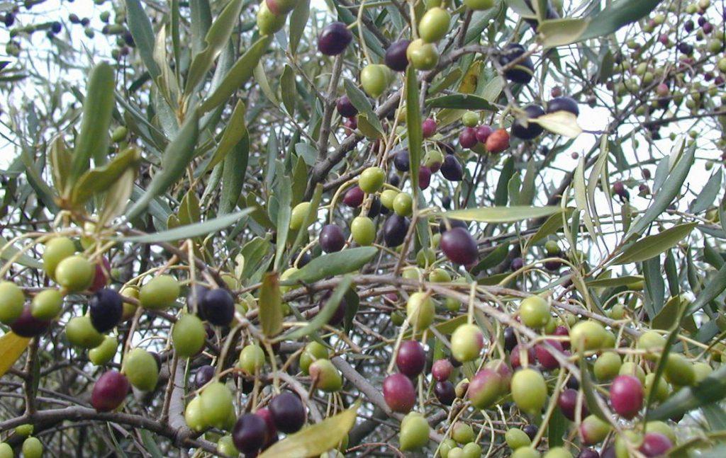 Процесс созревания оливок на дереве