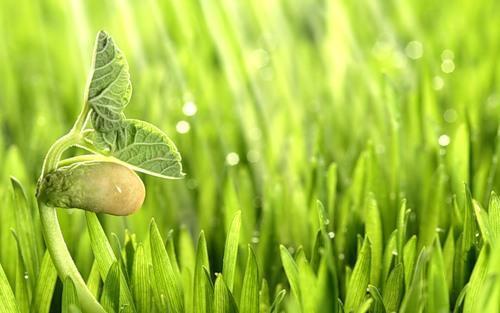 проращивание фасоли